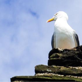 mouette_gull